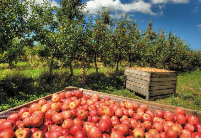Jabuke voće
